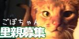 gobo1-ちゃいろい猫。ごぼちゃんの里親募集。