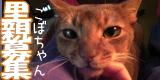 gobo2-ちゃいろい猫。ごぼちゃんの里親募集。